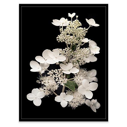 James Ogilvy, Hydrangea Paniculata I