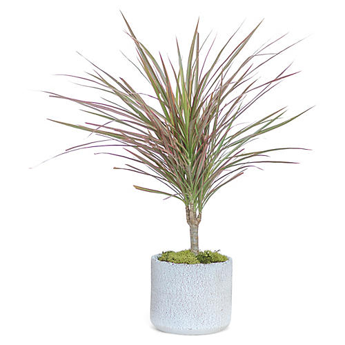 Dracaena Marginata Plant w/ Cylindrical Pot, Live
