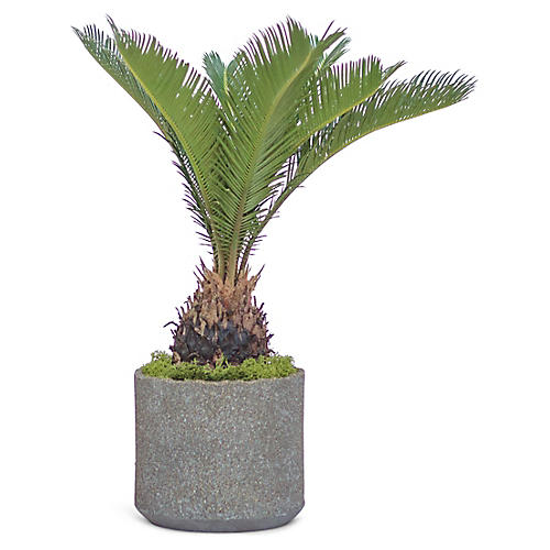Sago Palm Plant w/ Cylindrical Pot, Live