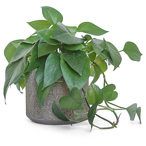 Jade Pothos Plant w/ Cylindrical Pot, Live
