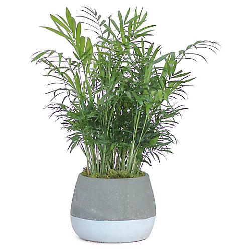 Bella Palm Plant w/ Bowl Pot, Live