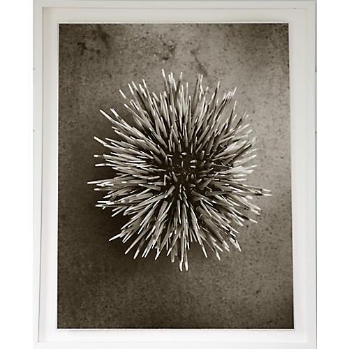 Dawn Wolfe, Sea Urchin