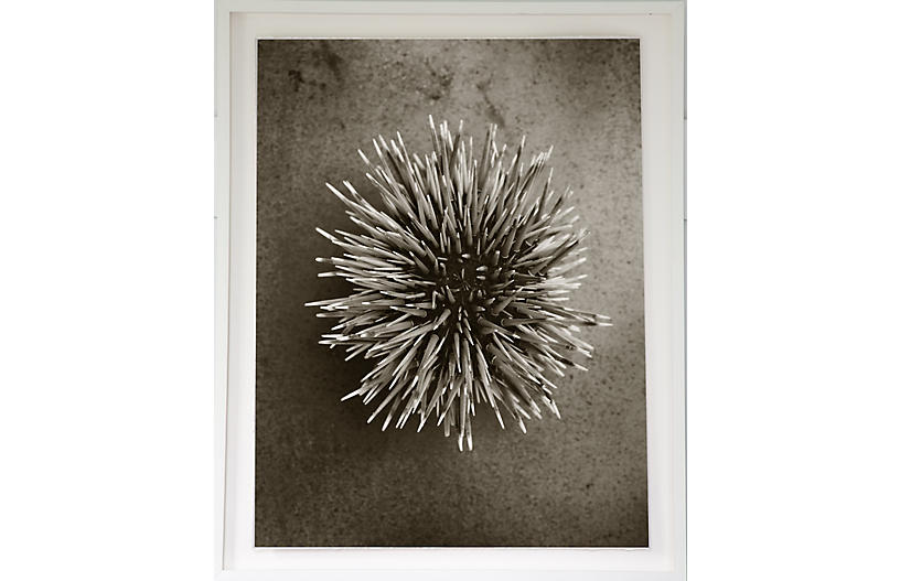 Dawn Wolfe, Sea Urchin