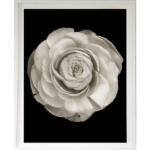 Dawn Wolfe, Ranunculus