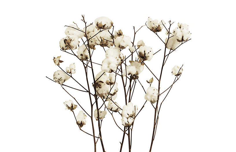 S/5 Cotton Stalks, Dried