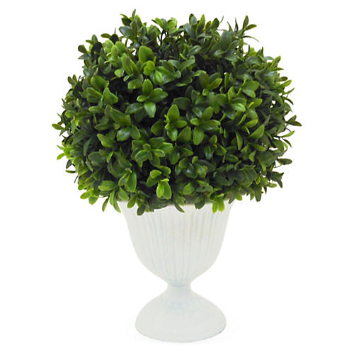 "11"" Boxwood in Urn"