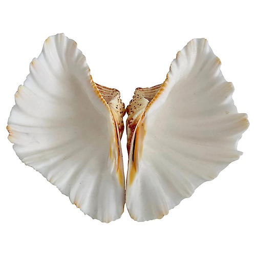 Giant Hippopus Clam Shell