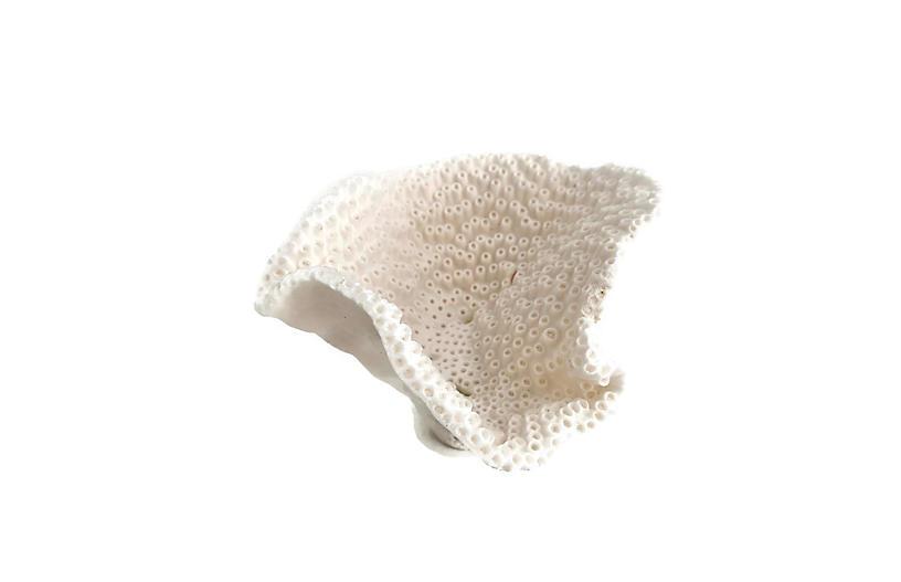 Natural Black Cup Coral Specimen