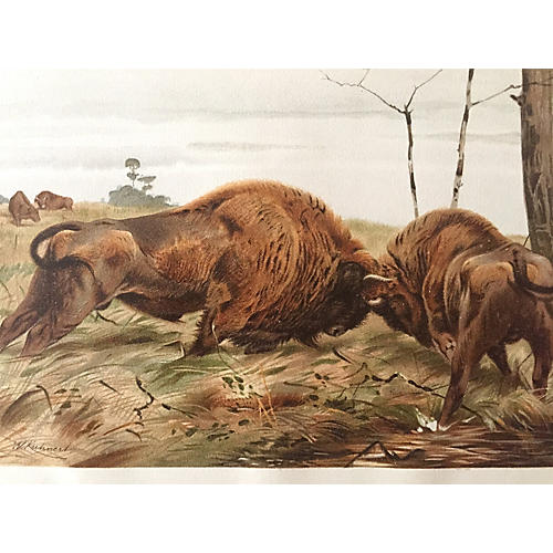 Buffalo or Bison Lithograph, C. 1900