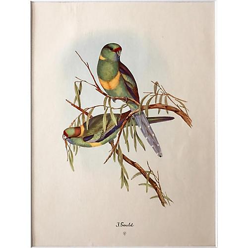 Bernard's Parakeets Print by Gould