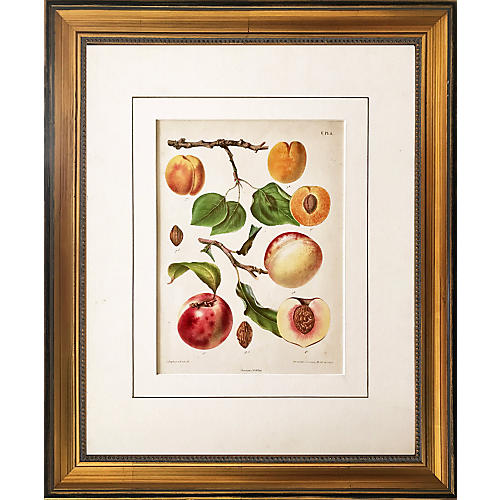 19th-C. Dutch Botanical Print of Peaches