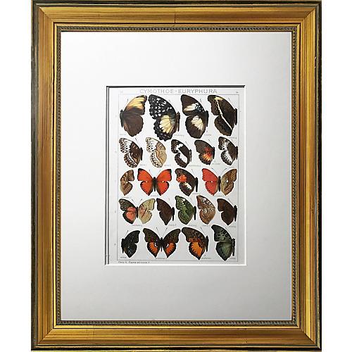 Antique Butterfly Specimen Lithograph