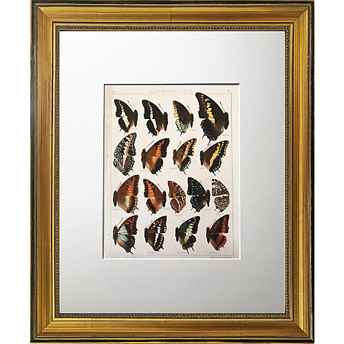 Antique Butterfly Specimen Lithograph
