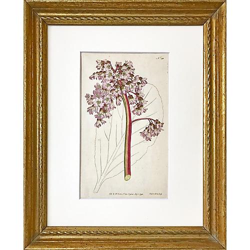 Saxifraga Crassifolia by William Curtis