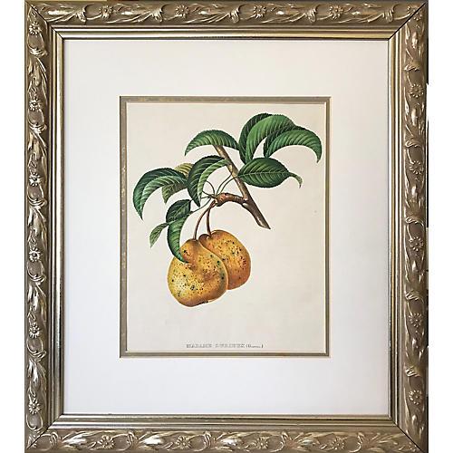 19th-C. French Pear Print