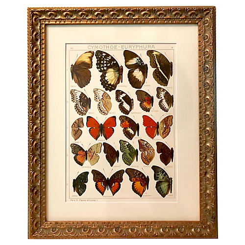 Antique African Butterflies Lithograph