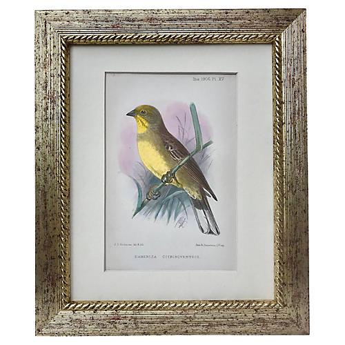 Antique Color Lithograph Bird, 1906