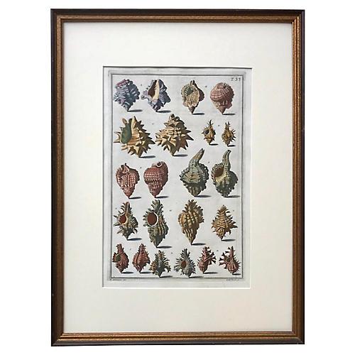 Italian Seashell Engraving, 1742