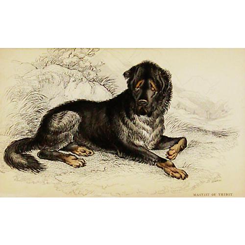 Mastiff, 1843