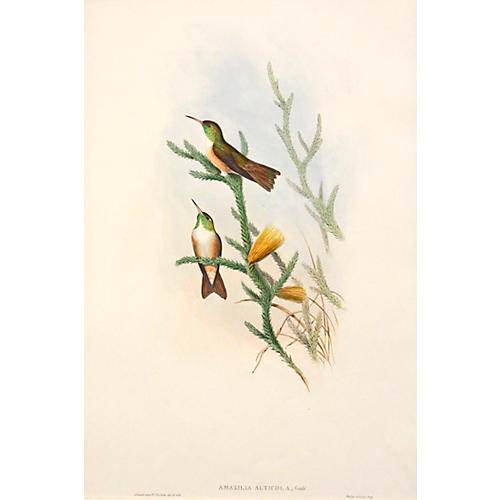 Gould's Mountain Hummingbird, C. 1850
