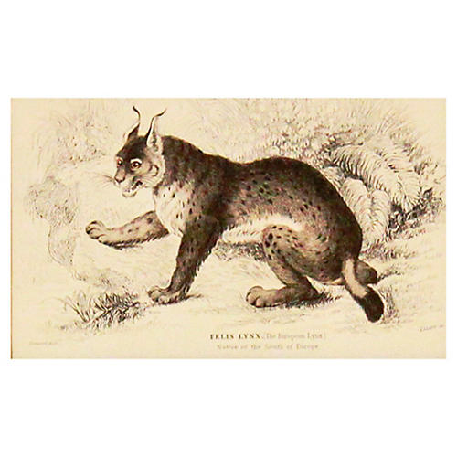 Lynx, 1843