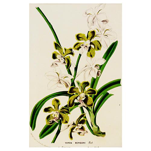 Vanda Bensoni Orchid, C. 1860