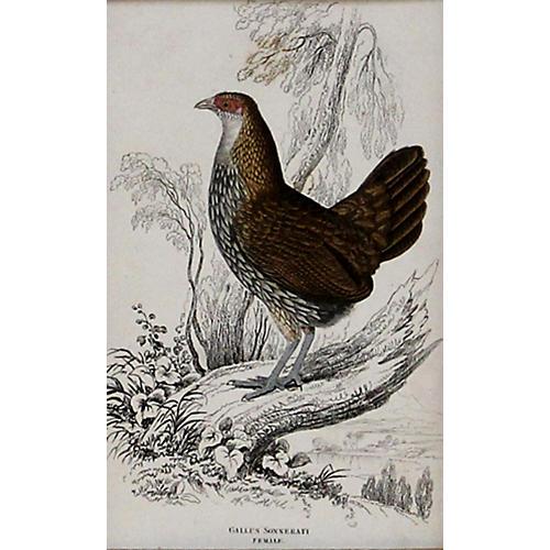 Chicken, 1843