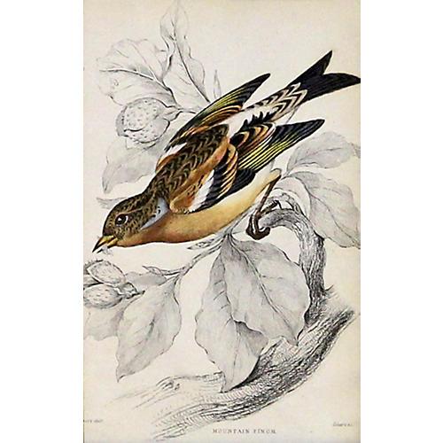 Mountain Finch, C. 1840
