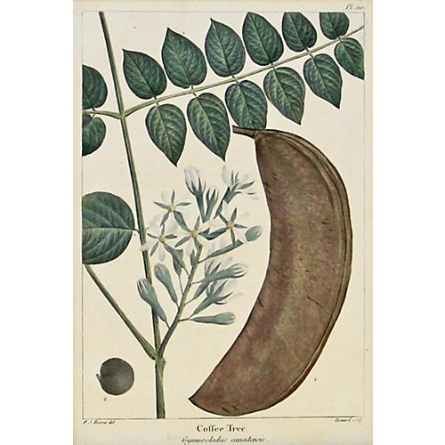 Coffee Bean Leaves & Pod, 1842