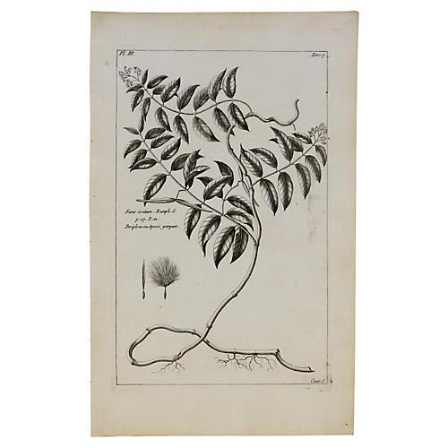 Chickweed, C. 1770
