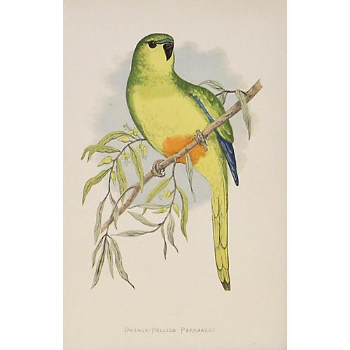 Orange-Bellied Parrakeet, C. 1880