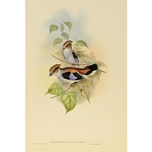 Lunated Eurylaime, C. 1850