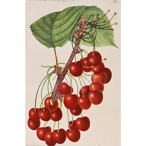 Mercer Cherries, 1892