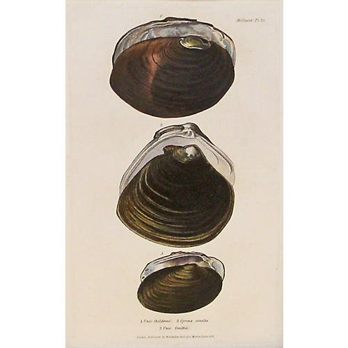 Brown Mollusk Shells, C. 1840