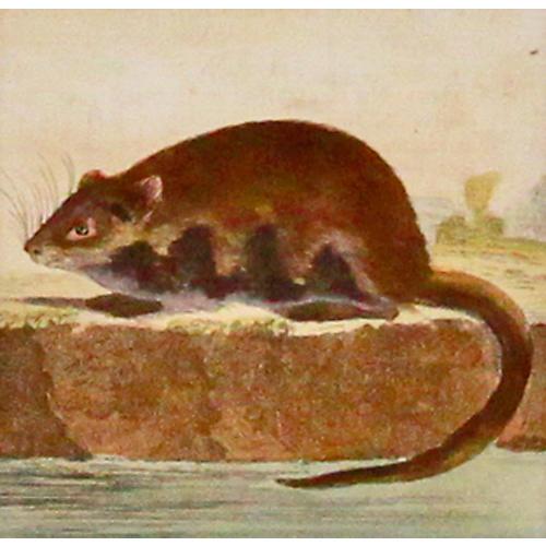 Muskrat, 1780