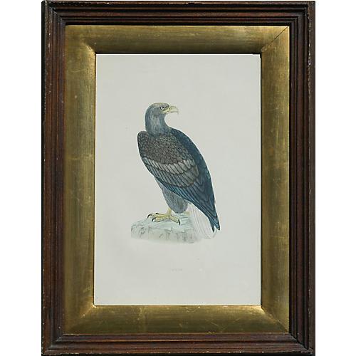 Erne Sea Eagle, 1853