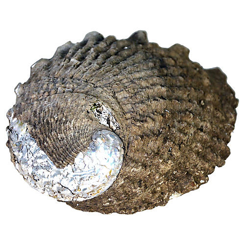 Blue Abalone Shell