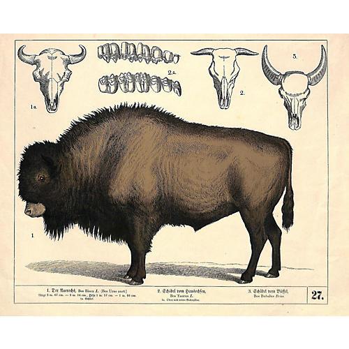 Buffalo Bison Print, 1858