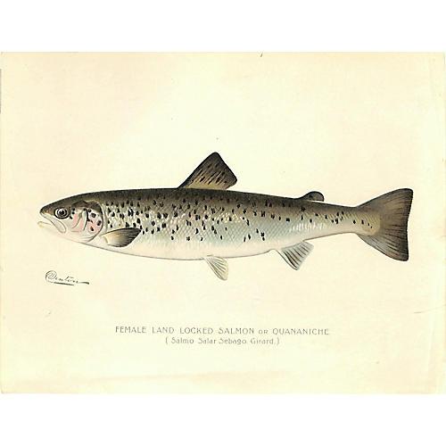 Salmon, Female Salmon, Game Fish, 1900