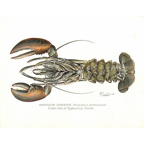 Lobster, Antique Print, Denton