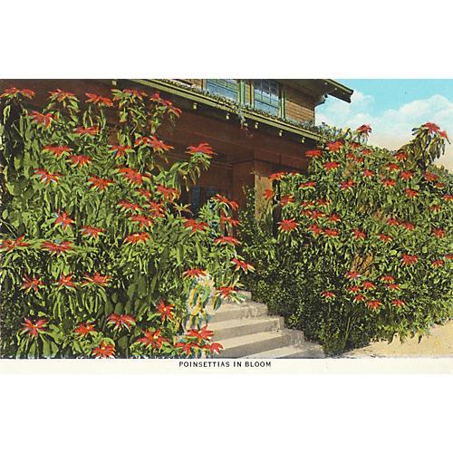 Poinsettias in Southern California