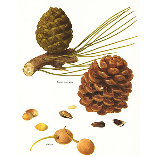 Italian Stone Pine & Ginkgo Nuts