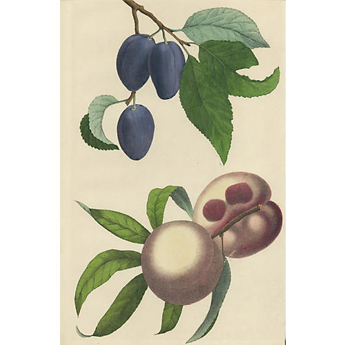 Hand-Colored Plums & Peaches, C. 1860
