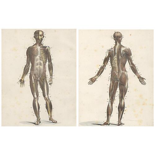 Human Musculature, 1825, Pair