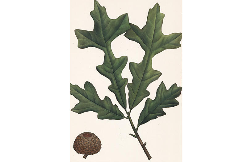 Hand-Colored Over Cup Oak Sprig, 1819