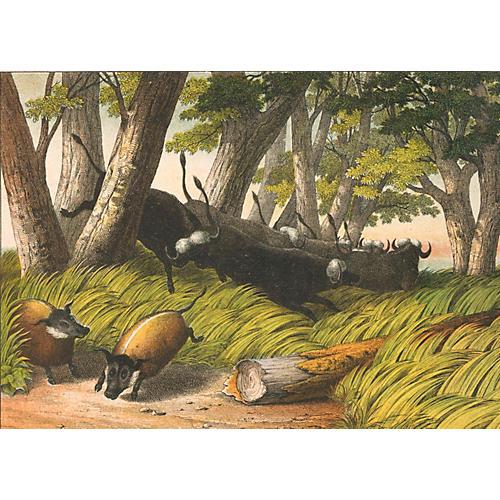 Cape Buffalo & Bush Pigs, 1869