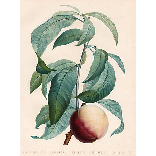 Engraving of a Peach by Redouté, 1822