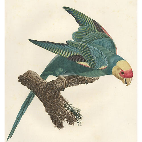 Yellow-Headed Parrot, C. 1805