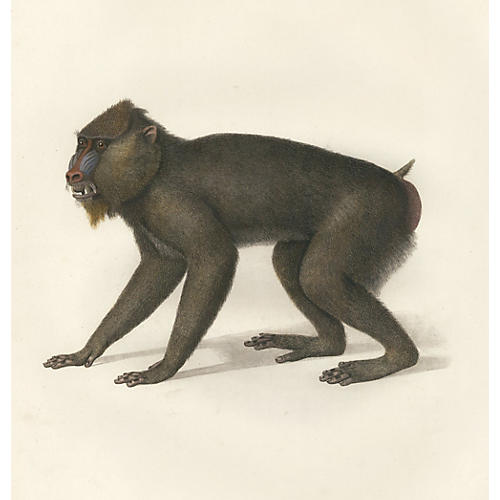 Hand-Colored Mandrill, C. 1800