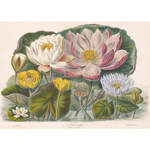 Hand-Colored Water Lilies, C. 1850